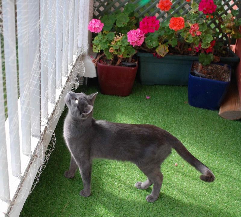 HARRIS, chat européen de type chartreux, né en 2014 Harris33