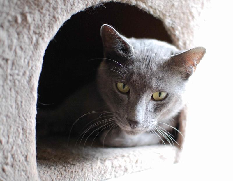 HARRIS, chat européen de type chartreux, né en 2014 Harris34