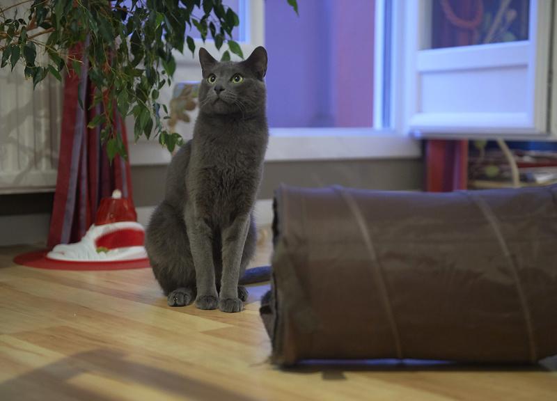 HARRIS, chat européen de type chartreux, né en 2014 Harris35