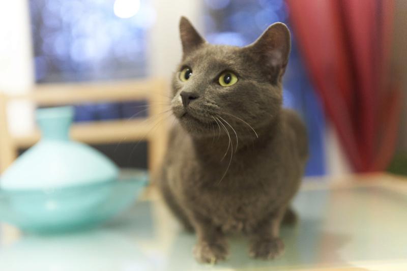 HARRIS, chat européen de type chartreux, né en 2014 Harris38