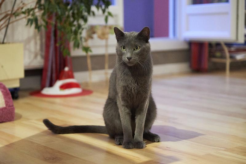 HARRIS, chat européen de type chartreux, né en 2014 Harris39