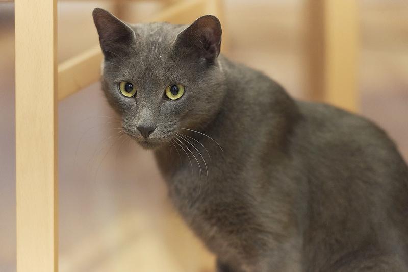 HARRIS, chat européen de type chartreux, né en 2014 Harris41
