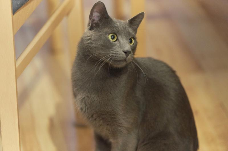 HARRIS, chat européen de type chartreux, né en 2014 Harris42