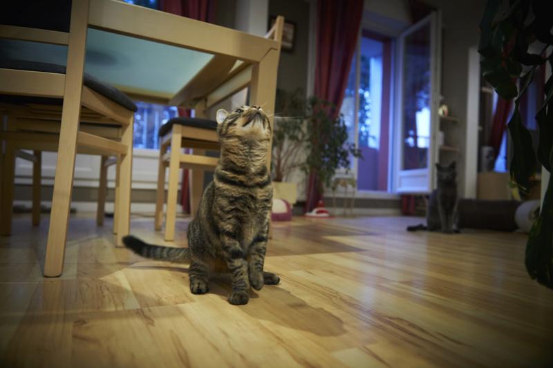 NELYO, chaton européen tigré, né en mars 2017 Harris44