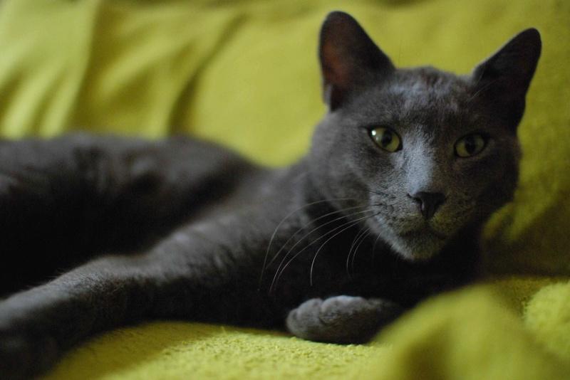 HARRIS, chat européen de type chartreux, né en 2014 Harris45