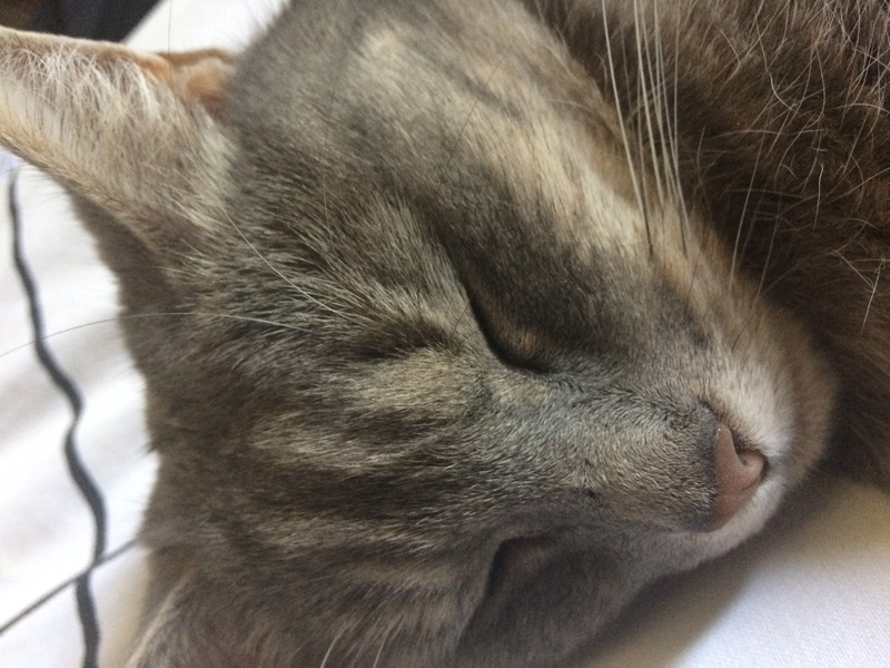 Peggy - PEGGY - Femelle européenne - tigrée grise - née fin 2012 Img_2111
