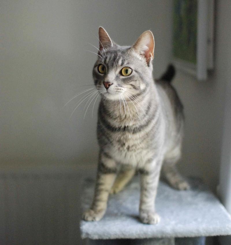 laurus - LAURUS, chat européen tigré gris, né le 27/09/15 Laurus13