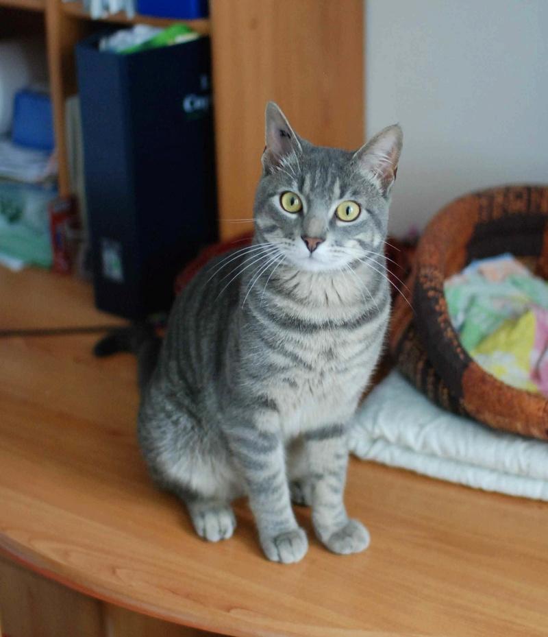laurus - LAURUS, chat européen tigré gris, né le 27/09/15 Laurus17
