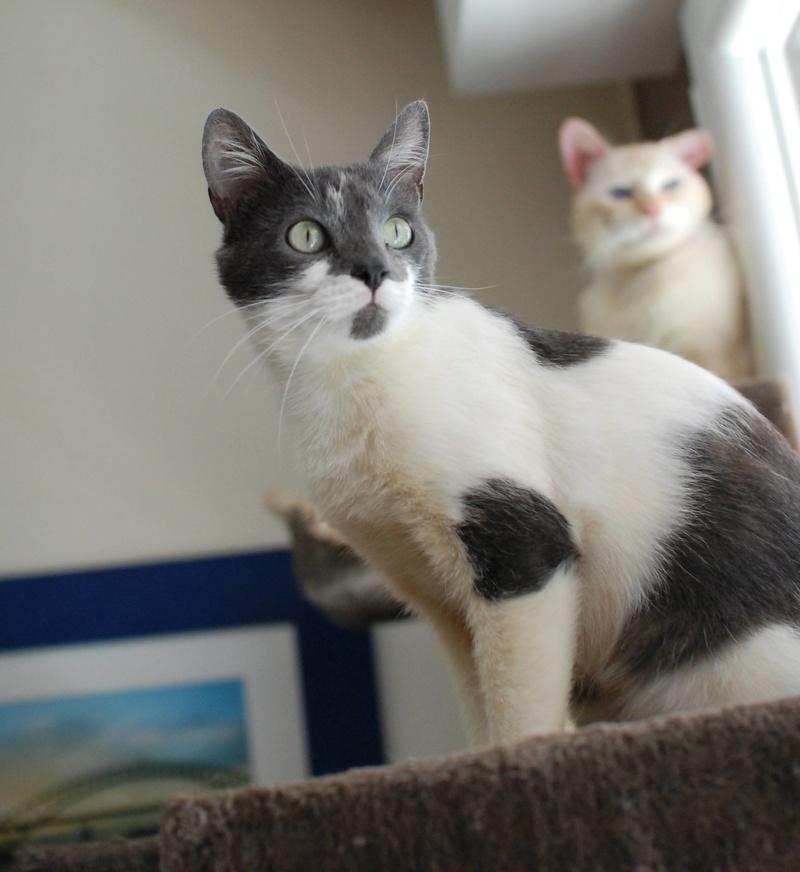manon - MANON, jeune chatte européenne, Grise&blanche, née en mai 2016. Manon_10