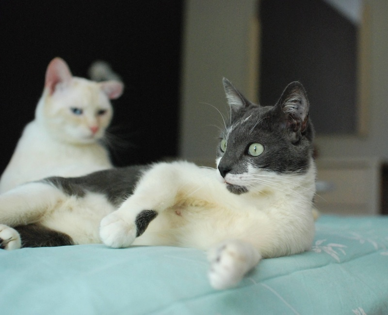 manon - MANON, jeune chatte européenne, Grise&blanche, née en mai 2016. Manon_14