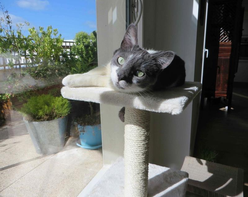 manon - MANON, jeune chatte européenne, Grise&blanche, née en mai 2016. Manon_17