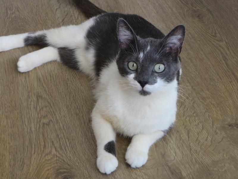 manon - MANON, jeune chatte européenne, Grise&blanche, née en mai 2016. Manon_18