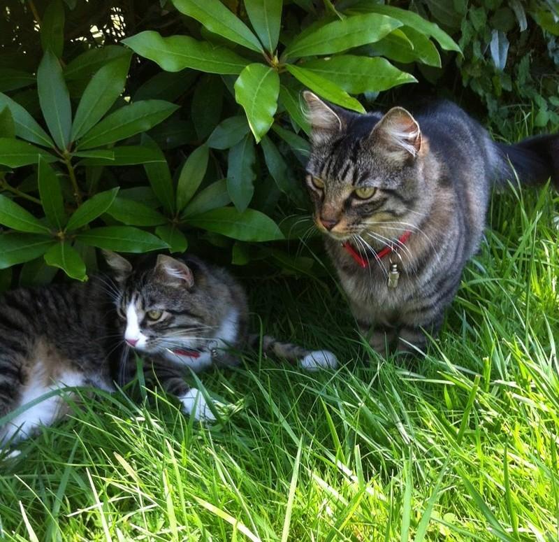 marley - MARLEY, chaton européen tigré&blanc, né le 15/04/16 Marcus11