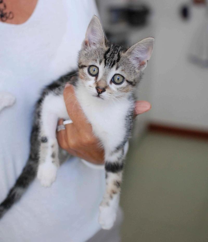 nago - NAGO, chaton européen tigré&blanc, né en juillet 2017 Nago_410