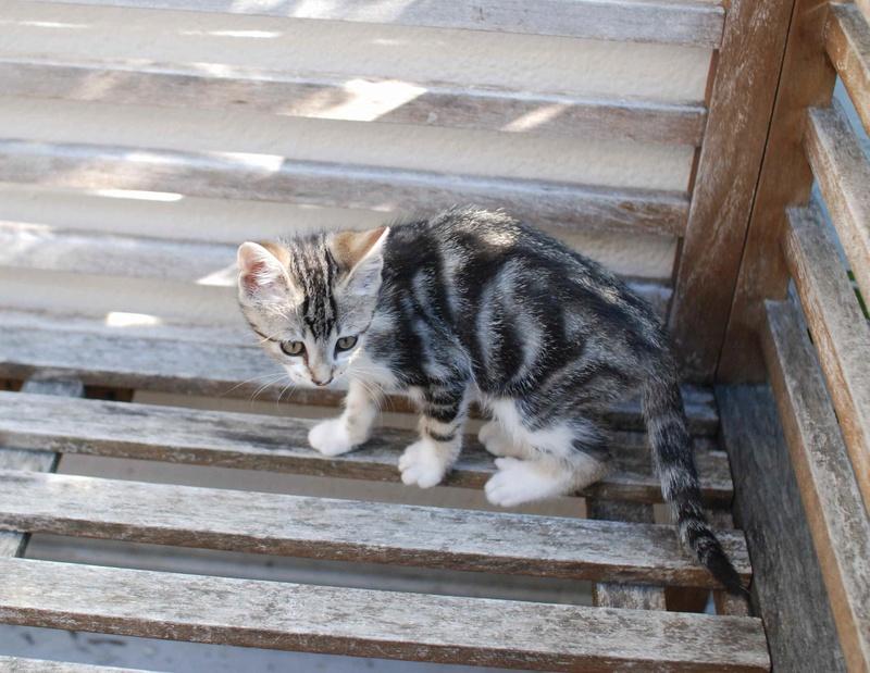 nago - NAGO, chaton européen tigré&blanc, né en juillet 2017 Nago_610