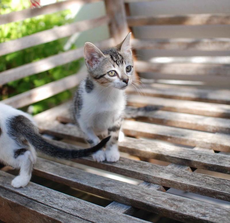 nago - NAGO, chaton européen tigré&blanc, né en juillet 2017 Nago_910