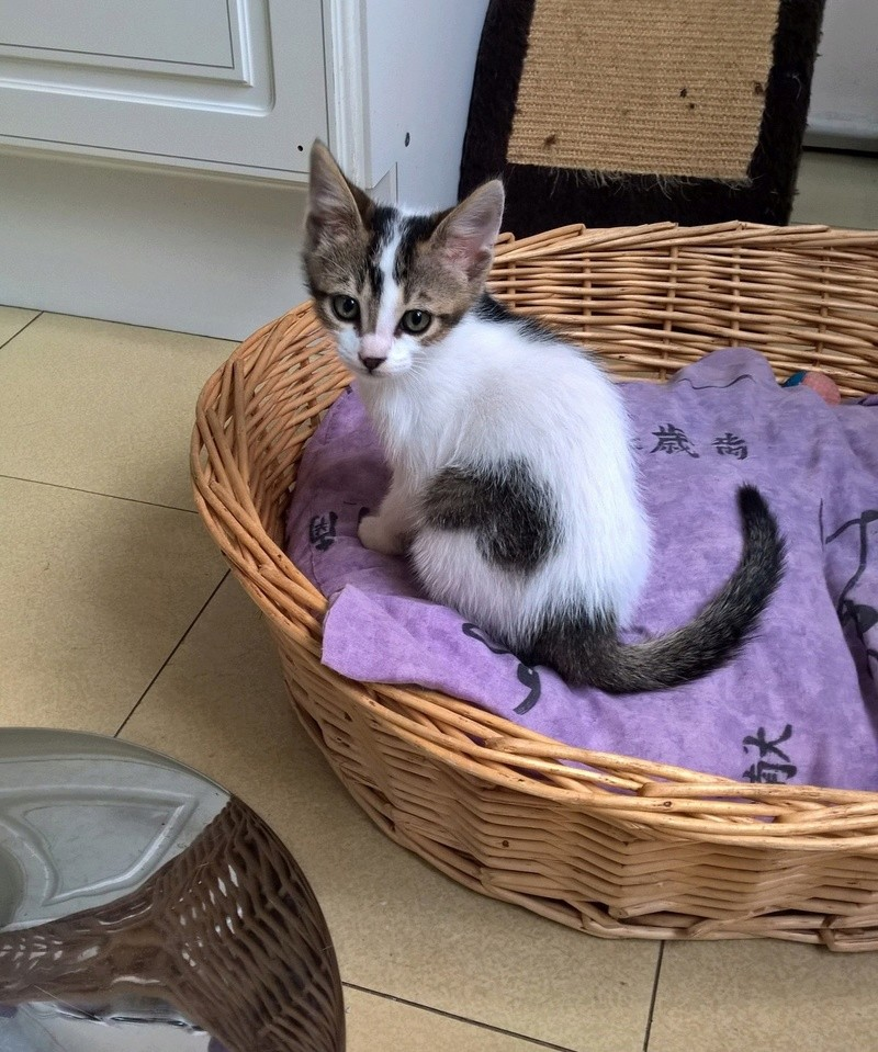 NANETTE, chatonne européenne tigré&blanc, née en juillet 2017 Nanett12