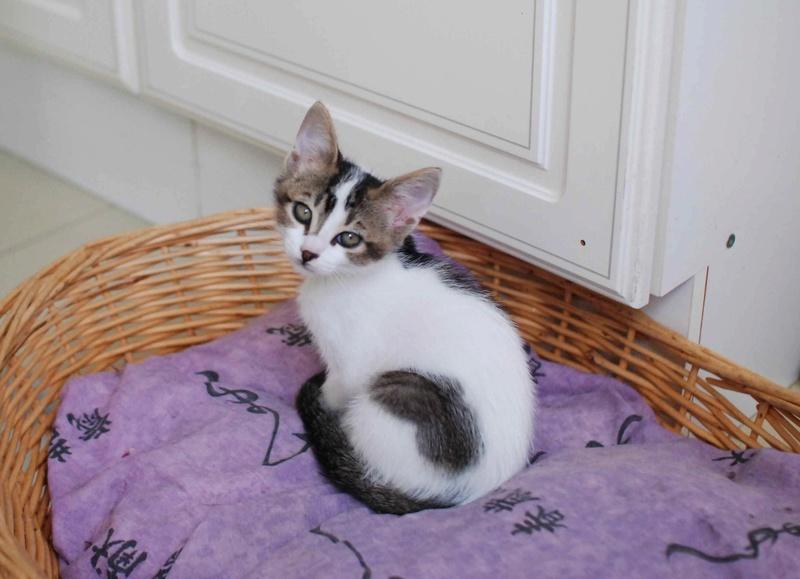 NANETTE, chatonne européenne tigré&blanc, née en juillet 2017 Nanett13