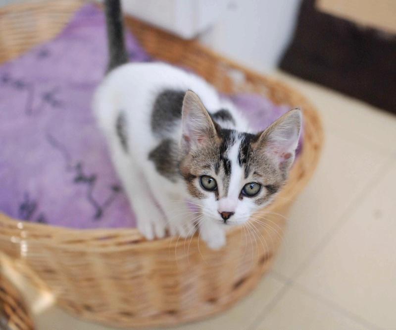 NANETTE, chatonne européenne tigré&blanc, née en juillet 2017 Nanett15