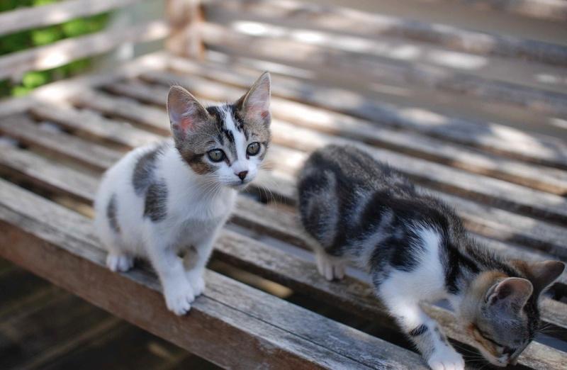 NANETTE, chatonne européenne tigré&blanc, née en juillet 2017 Nanett17
