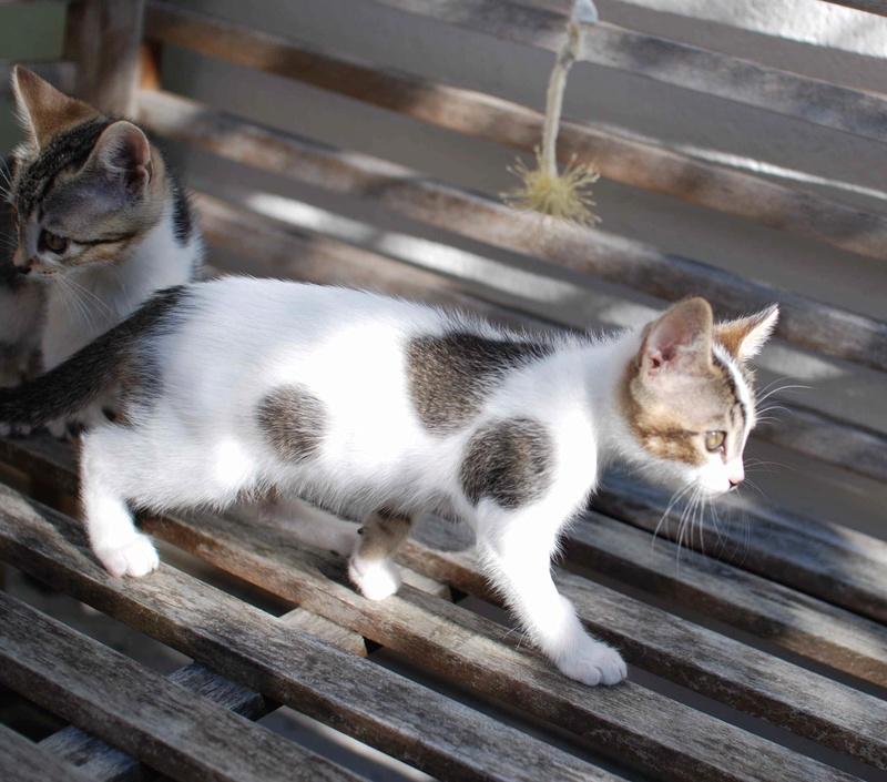 NANETTE, chatonne européenne tigré&blanc, née en juillet 2017 Nanett19