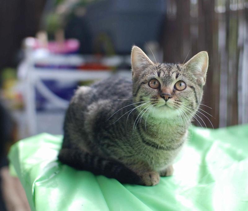 naoma - NAOMA, chatonne européenne tigrée, née le 27/04/17 Naoma_17