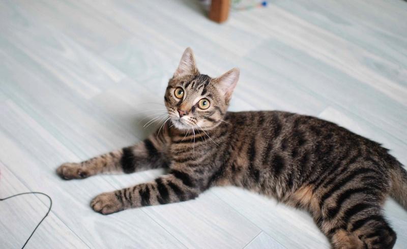 NELYO, chaton européen tigré, né en mars 2017 Nelyo_11