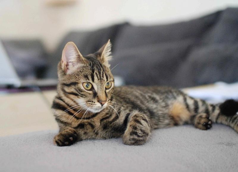 NELYO, chaton européen tigré, né en mars 2017 Nelyo_12