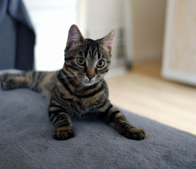 NELYO, chaton européen tigré, né en mars 2017 Nelyo_13