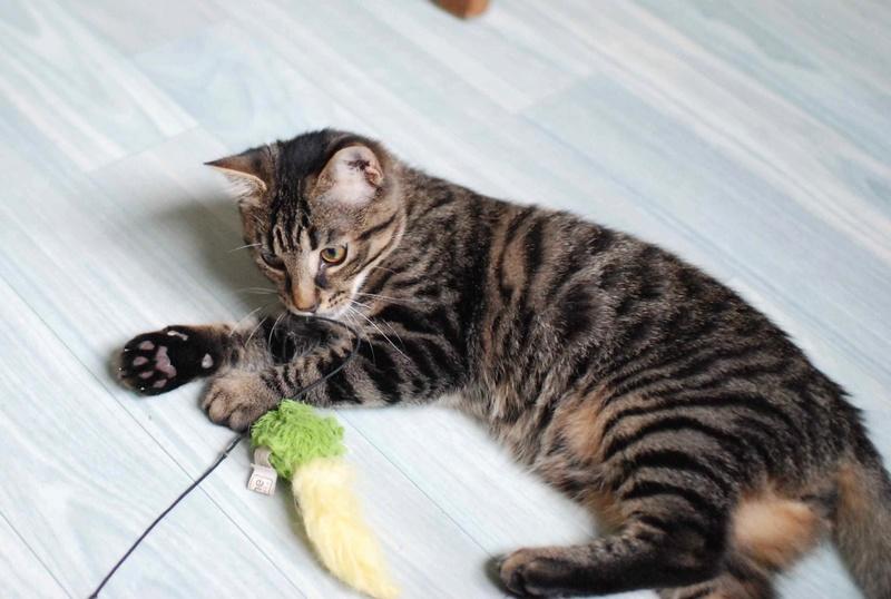 NELYO, chaton européen tigré, né en mars 2017 Nelyo_14