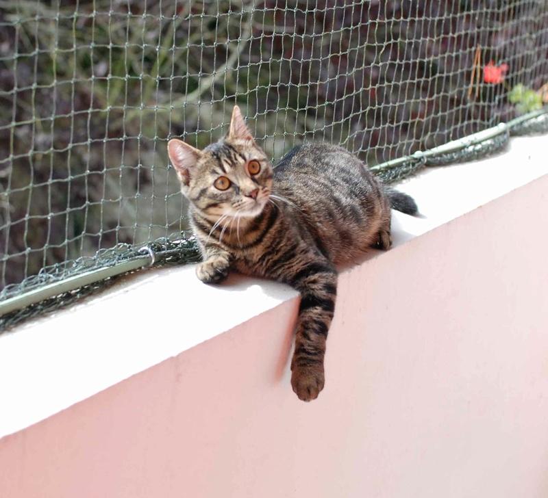NELYO, chaton européen tigré, né en mars 2017 Nelyo_15