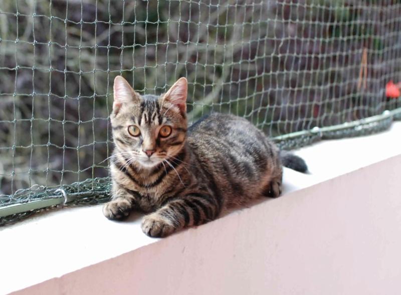 NELYO, chaton européen tigré, né en mars 2017 Nelyo_16