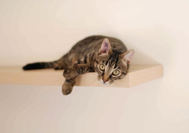 NELYO, chaton européen tigré, né en mars 2017 Nelyo_17