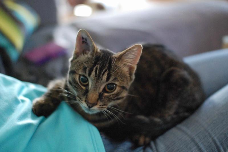 NELYO, chaton européen tigré, né en mars 2017 Nelyo_22