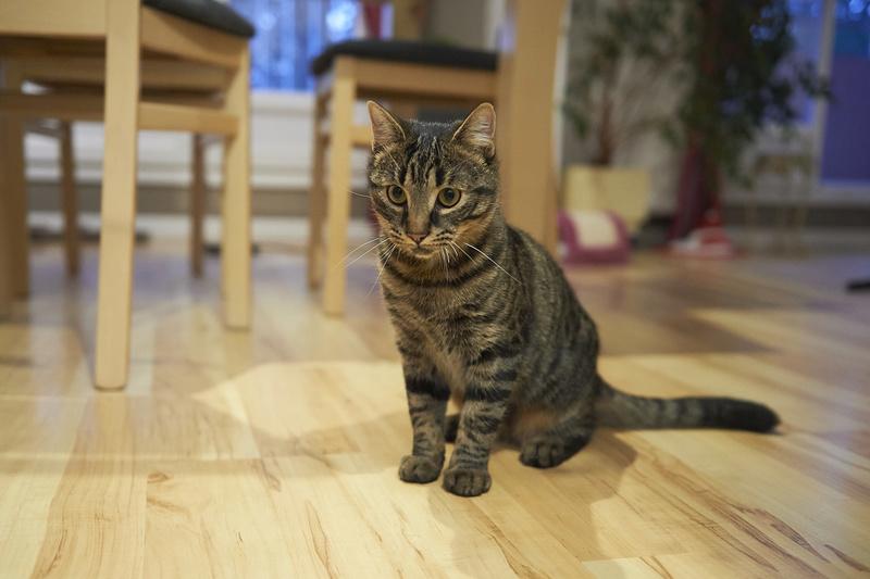 NELYO, chaton européen tigré, né en mars 2017 Nelyo_23