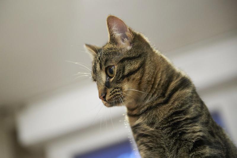 NELYO, chaton européen tigré, né en mars 2017 Nelyo_26