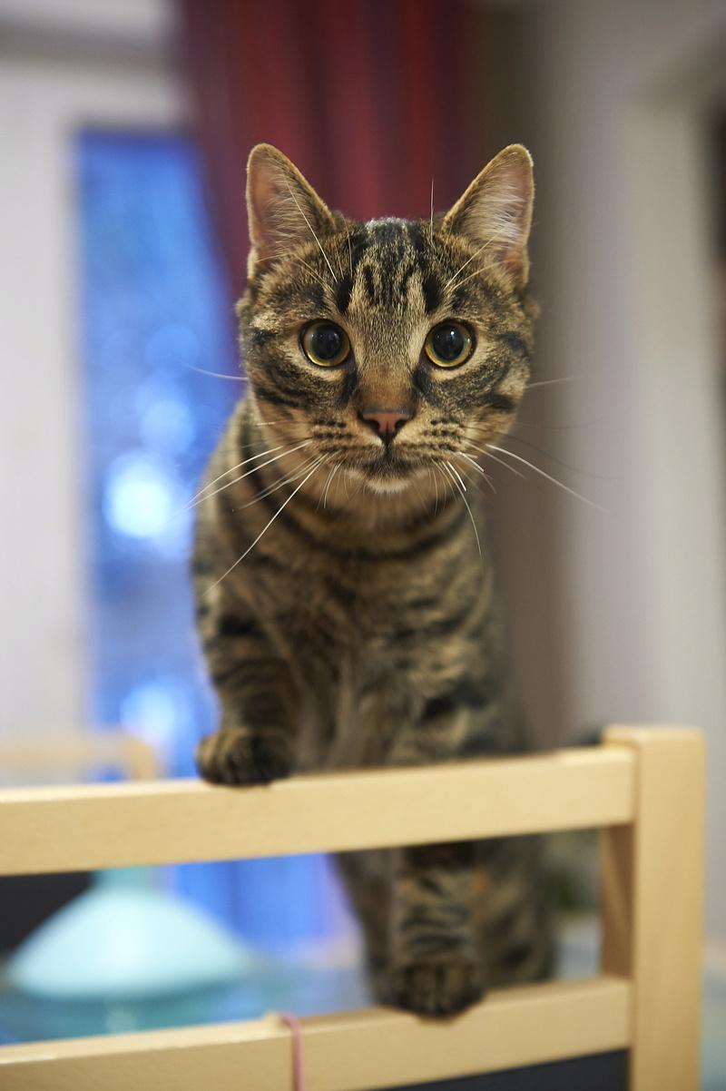 NELYO, chaton européen tigré, né en mars 2017 Nelyo_27