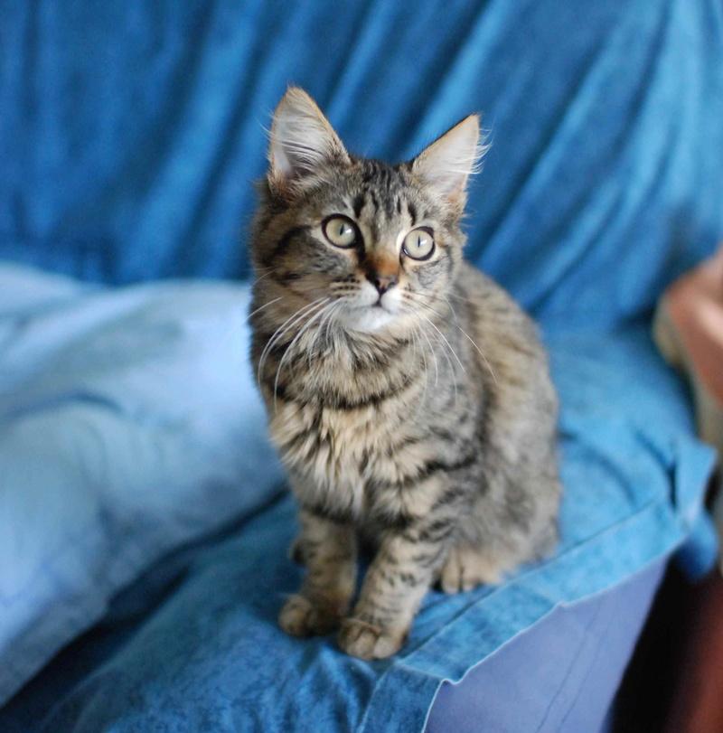 nika - NIKA, chatonne européenne tigré, poils mi-longs, née le 27/04/17 Nika_110