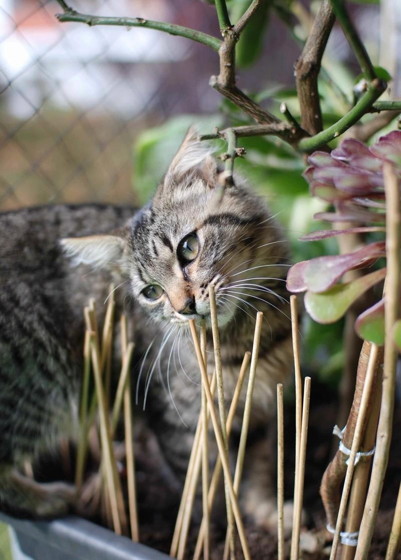 nika - NIKA, chatonne européenne tigré, poils mi-longs, née le 27/04/17 Nika_210