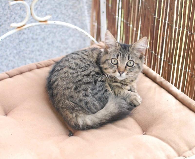 nika - NIKA, chatonne européenne tigré, poils mi-longs, née le 27/04/17 Nika_310
