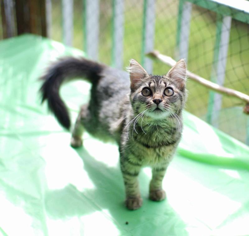 nika - NIKA, chatonne européenne tigré, poils mi-longs, née le 27/04/17 Nika_410