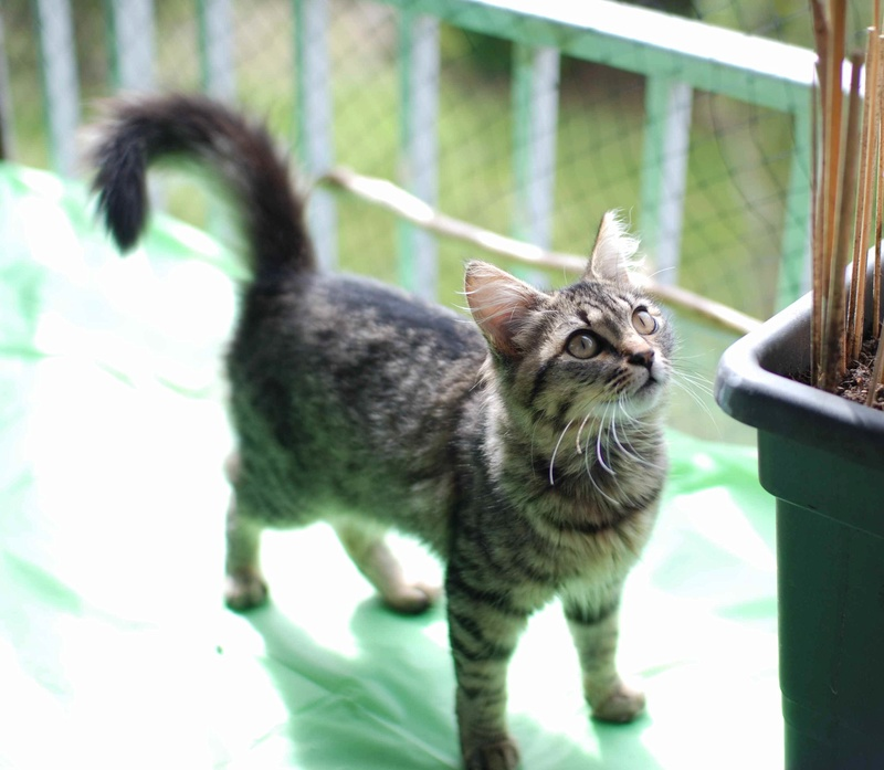 nika - NIKA, chatonne européenne tigré, poils mi-longs, née le 27/04/17 Nika_510
