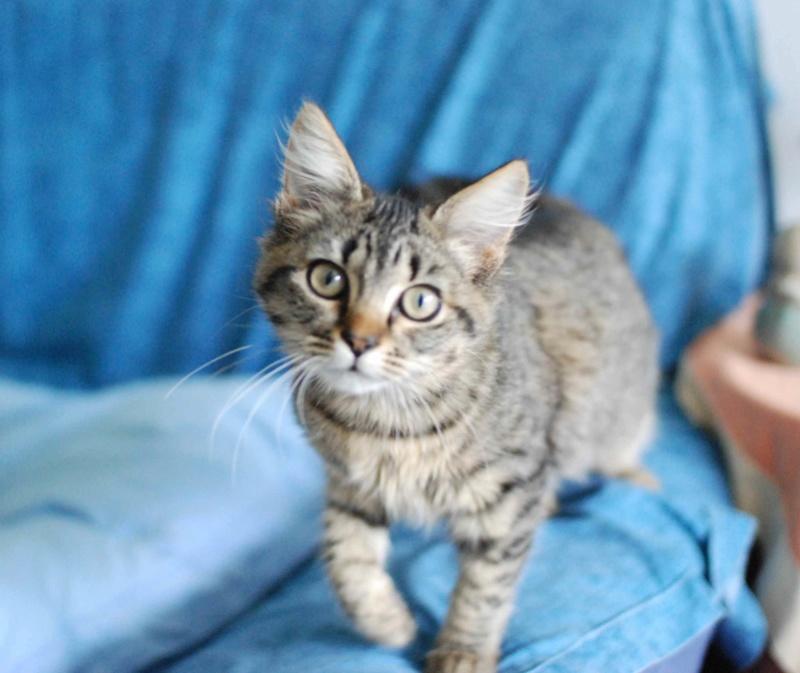 nika - NIKA, chatonne européenne tigré, poils mi-longs, née le 27/04/17 Nika_610