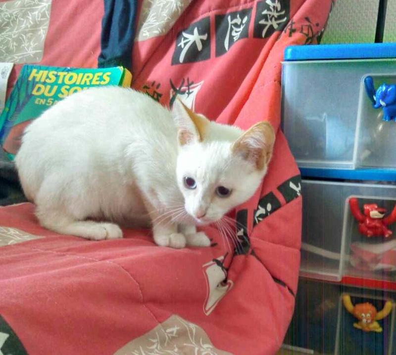 NORMAN, chaton européen blanc&roux, yeux bleux, né le 19/05/17 Norman10