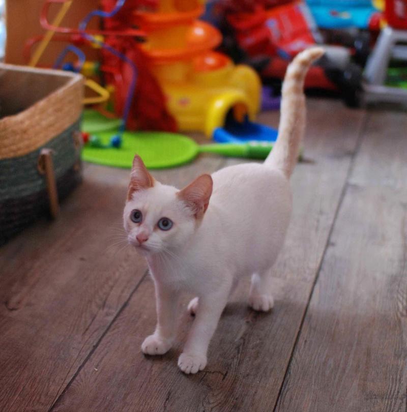 NORMAN, chaton européen blanc&roux, yeux bleux, né le 19/05/17 Norman11