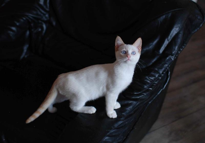 NORMAN, chaton européen blanc&roux, yeux bleux, né le 19/05/17 Norman13