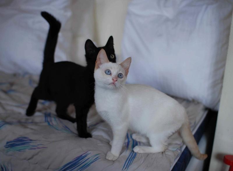 NORMAN, chaton européen blanc&roux, yeux bleux, né le 19/05/17 Norman14