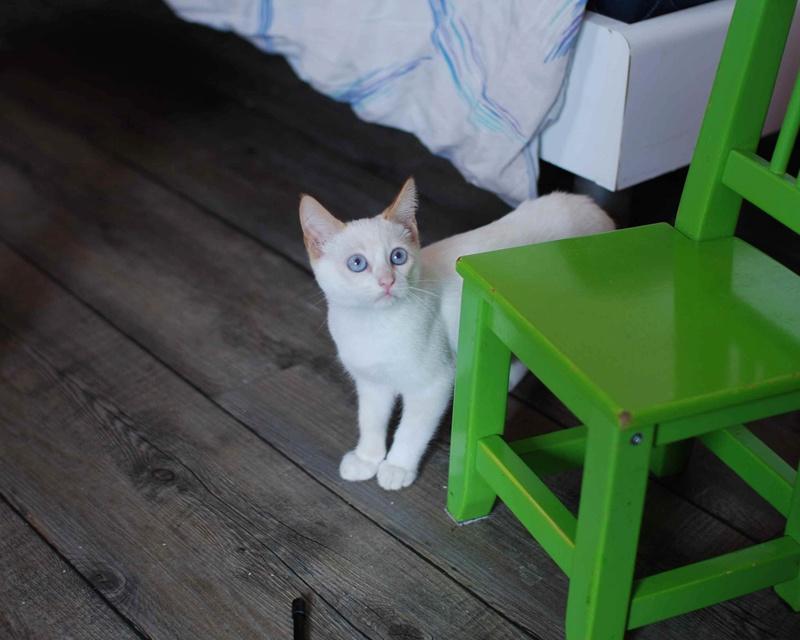 NORMAN, chaton européen blanc&roux, yeux bleux, né le 19/05/17 Norman16