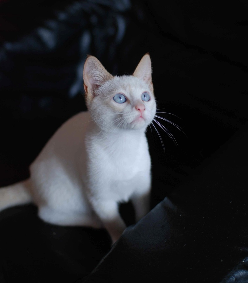 NORMAN, chaton européen blanc&roux, yeux bleux, né le 19/05/17 Norman17