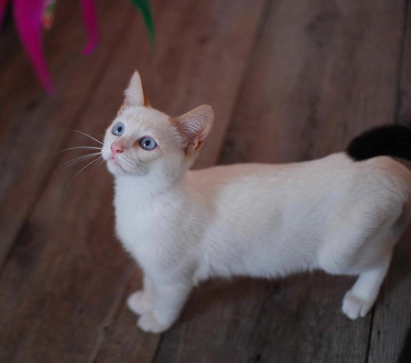 NORMAN, chaton européen blanc&roux, yeux bleux, né le 19/05/17 Norman19